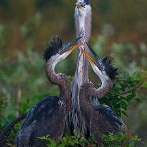 Great Blue Heron Feeding Young, Florida; Posted by: cameo