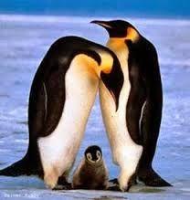 pingviner - Google-søgning