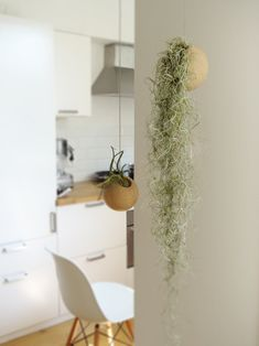 Indoor plant design idea with 2 hanging spheres and Tillandsia air plants in a bright kitchen Hanging Air Plants, Indoor Plants, House Plants Decor, Plant Decor, Air Plants Care, Air Plant Display, Decoration Plante, Air Plant Terrarium, Spanish Moss