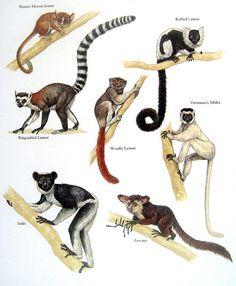 Monkeys - Russet Mouse-lemur, Wooly Lemur, Indri, Aye-aye - Vintage 1984 Animal Book Plate