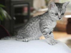 Egyptian Mau Kitten, Cattery Adduwerth's Abby, The Netherlands