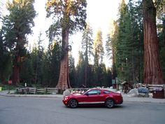 Giant Sequoia trees - Mustang ride through Sequoia National Park in Cali...