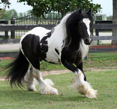 Gypsy MVP | King Casanova | Gypsy Vanner | Piebald - Look at all that feather!