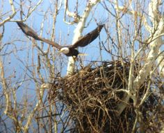 Harmar bald eagles get crack at parenting Eagle Nest, Bird Nests, Red Tailed Hawk, Bald Eagles, Stork, Pittsburgh, Wings, Friends, Amigos