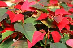 How to Care for a Poinsetta Plant Year Round
