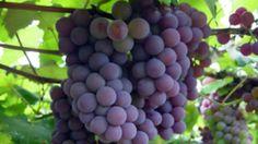 Cultivo de uva para suco e vinho é avaliado em cidades paulistas -   'O suco de uva puro, considerado 100% integral, sem a utilização de aditivos químicos, é encontrado apenas no Brasil', diz o professor Marco Antonio Tecchio, do Departamento de Horticultura da Unesp de Botucatu, que estuda o comportamento do cultivo de uvas nas regiões de Botucatu, São Ma - http://acontecebotucatu.com.br/geral/cultivo-de-uva-para-suco-e-vinho-e-avaliado-em-cidades-paulistas/