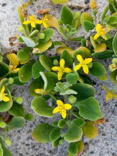 Tetragonia implexicoma (Bower Spinach) is a scrambling subshrub that forms dense leafy patches of up to 13 feet (4 m). The stems are long...