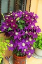 100 PCS Garden Clematis Seed Six Varieties Beautify Courtyard Terrace Purple Clematis Flower Seeds of Rare Plants