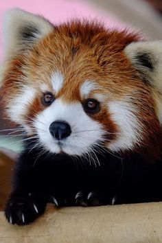 Love these little guys...visit the Millbrook Zoo!!! Red Panda (by Hirosh Amazing World beautiful amazing