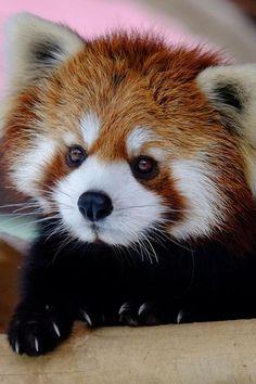 Love these little guys...visit the Millbrook Zoo!!! Red Panda (by Hirosh Amazing World beautiful amazing