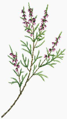 Lizzie Harper botanical illustration of heather