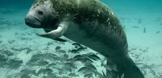 The manatee — for decades the poster mammal for environmental decline in Florida — is officially no longer an endangered species. Fish and. Swimming With Manatees, Manatee Florida, Sea Cow, Real Mermaids, Florida Vacation, Chiefland Florida, Cedar Key Florida, Florida Girl, Kittens