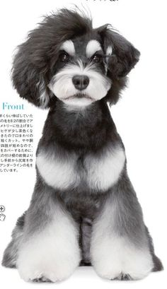 Japanese Dog Grooming Style what a shame o do this a such a nice looking schnauzer! Raza Schnauzer, Schnauzer Grooming, Dog Grooming Tools, Dog Grooming Styles, Dog Grooming Supplies, Japanese Dog Grooming, Japanese Dogs, Japanese Style, Pet Shop