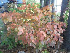 Corylus americana aka American Hazelnut