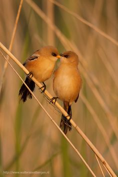 Love is in the air. Bearded Reedling.