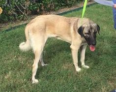 "TEXAS, HOUSTON;**URGENT NEEDS FOSTER** ""THEO"" is an adoptable Anatolian Shepherd searching for a forever family near Houston, TX. Use Petfinder to find adoptable pets in your area."