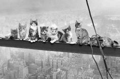 Maxi Poster featuring the PG Tips Monkey in 'Monkeys on a Girder' Parody Poster in Black and White Crazy Cat Lady, Crazy Cats, Stray Cat Strut, Pg Tips, Animal Humour, Mediums Of Art, Cute Dog Pictures, Cool Posters, Cat Art