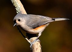 tufted Titmouse...when this bird finds a large seed it will carry it to a perch and crack it with his stout bill