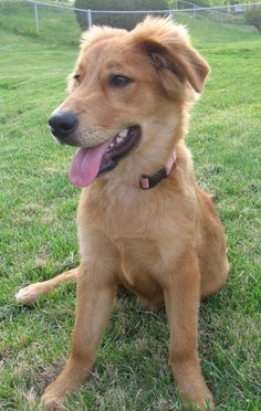 Golden Retriever/ Collie Mix