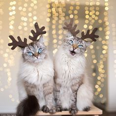 Alice and Finnegan | The pair of Siberian Lynx pointer cats getting in the festive spirit after being snapped wearing reindeer antlers