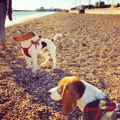 Southsea beagle siblings Ted & Toffee