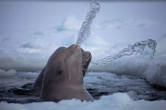Beluga Whales having Fun