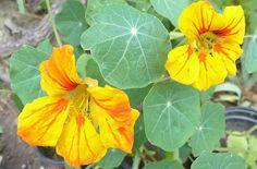 Lichořeřišnice k okrase i jako přírodní antibiotikum Samos, Plant Leaves, Plants, Plant, Planets