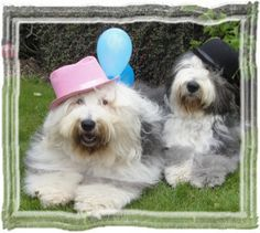 Tiffy and Bandit wishing their Breeder a Happy Birthday