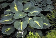 Hosta Thunderbolt very good slug resistance, garden plant | eBay