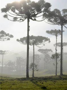 Floresta de Araucárias.