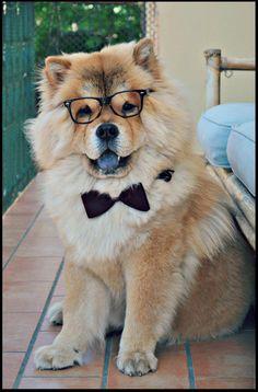 Chow Chow Dog !!!