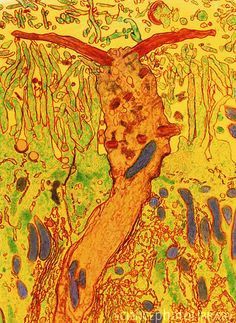 Coloured transmission electron micrograph (TEM) of a section through the olfactory (smell) epithelium of the nose. At centre (orange) is an olfactory receptor cell body. At its top two long, modified non-motile cilia project into the liquid lining of the nasal cavity. The cilia are thought to be the sites of interaction between odiferous substances and the receptor cells. Surrounding the receptor cell are the supporting cells with surface microvilli (finger-like). Within the cells…