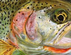 "Melissa March ""Cutthroat Trout"""