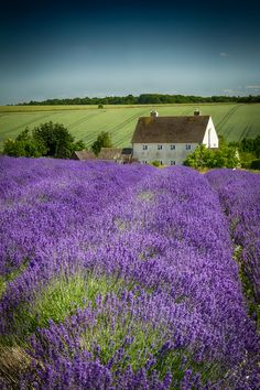 Snowshill Lavender-Cotswolds village in Gloucestershire, England.