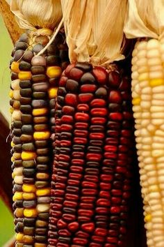 A traditional autumn house blessing.a swag of Indian corn! Seasons Of The Year, Four Seasons, Autumn Day, I Fall, Autumn Leaves, Happy Fall Y'all, Fall Harvest, Harvest Corn, Harvest Time