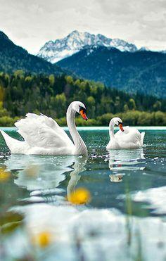 idyllic: swans on the mountain lake