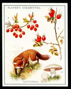 """Player's Cigarettes  """"A Nature Calendar"""" (series of 24 large cards issued in 1930) #18 September (2)"""
