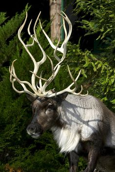 Reindeer. What in the world is up with the antlers, though? Very abstract.