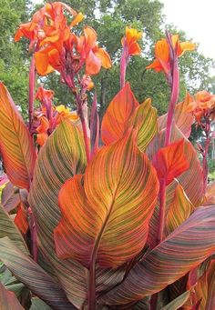 Tropical Flowers, Orange Flowers, Tropical Plants, Tropical Gardens, Tropical Leaves, Tropical Backyard, Tropical Landscaping, Canna Lily Landscaping, Fine Gardening