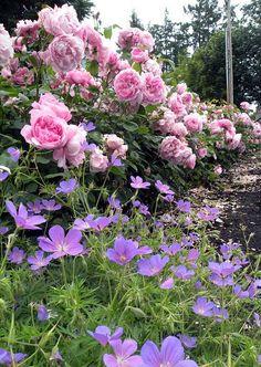 Lovely David Austin Roses (something short and purple in the rose garden?)