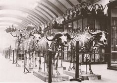 Osteological gallery, Natural History Museum London, 1892.