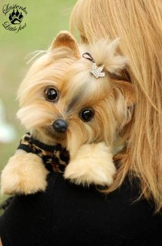 Yorkshire Terrier Cleopatra By Evgeniya and Igor Krasnov - Bear Pile