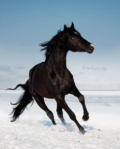 I have always wanted a black stallion, ever since I read the book as a child.