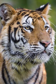 What a beautiful Tiger! Most Beautiful Animals, Majestic Animals, Beautiful Cats, Beautiful Creatures, Tiger Pictures, Cute Animal Pictures, Cute Baby Animals, Animals And Pets, Wild Animals