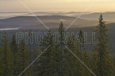 Skuleskogen National Park Spruces, Sweden - Wall Mural & Photo Wallpaper - Photowall
