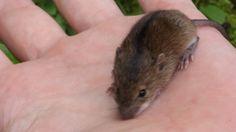 Лесная мышовка. Маленький лесной зверёк мышовка лесная