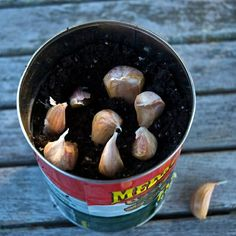 Garlic in Indoor Containers: Plant in container: pointy side up, poking 1/2 way down in soil. Can be close together but not touching. Cover with soil & water. Care: Water so the soil stays moist but not wet. In 1-2 weeks garlic shoots should poke through. When they are a couple inches tall you can snip with scissors. Leave about 1 inch of shoot on each clove so it will continue to grow.