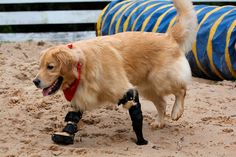ce golden retriever né sans pattes avant est devenu la mascotte d'une entreprise au brésil qui fabrique des prothèses pour les animaux mutilés et handicapés.