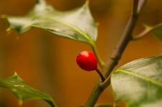 """""""Lonely holly"""" by Fernando Cabeza, via Lonely, Fruit, Pictures, Photos, Loneliness, Grimm"""