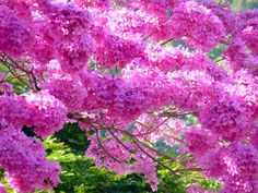 95 Gambar Bunga Sakura Tercantik Di Dunia Paling Hist Gambar Pixabay